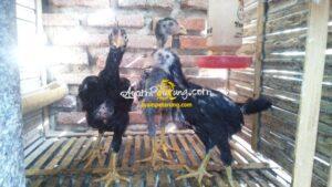 Anak Ayam Birma  Kaisar Silangan Bangkok Thailand (Mathai)