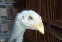 Jual Anak Ayam Bangkok Usia 1, 2, 3 Bulan Berkualitas Super Unggulan