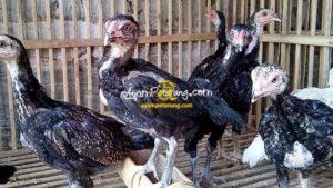 Anak Ayam Birma Ori 3