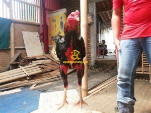 Ayam Birma, Ayam Saigon, Ayam Thailand, Sisik Naga Temurun, Nogososro 12