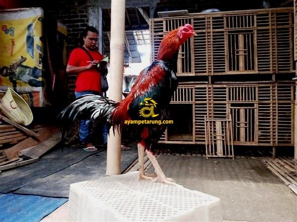 Ayam Birma, Ayam Saigon, Ayam Thailand, Sisik Naga Temurun, Nogososro 24