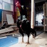 Ayam Pakhoy Thailand, Dominator