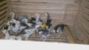 Anak Ayam Bangkok Pakhoy Sisik Naga Temurun Dragon Killer 3