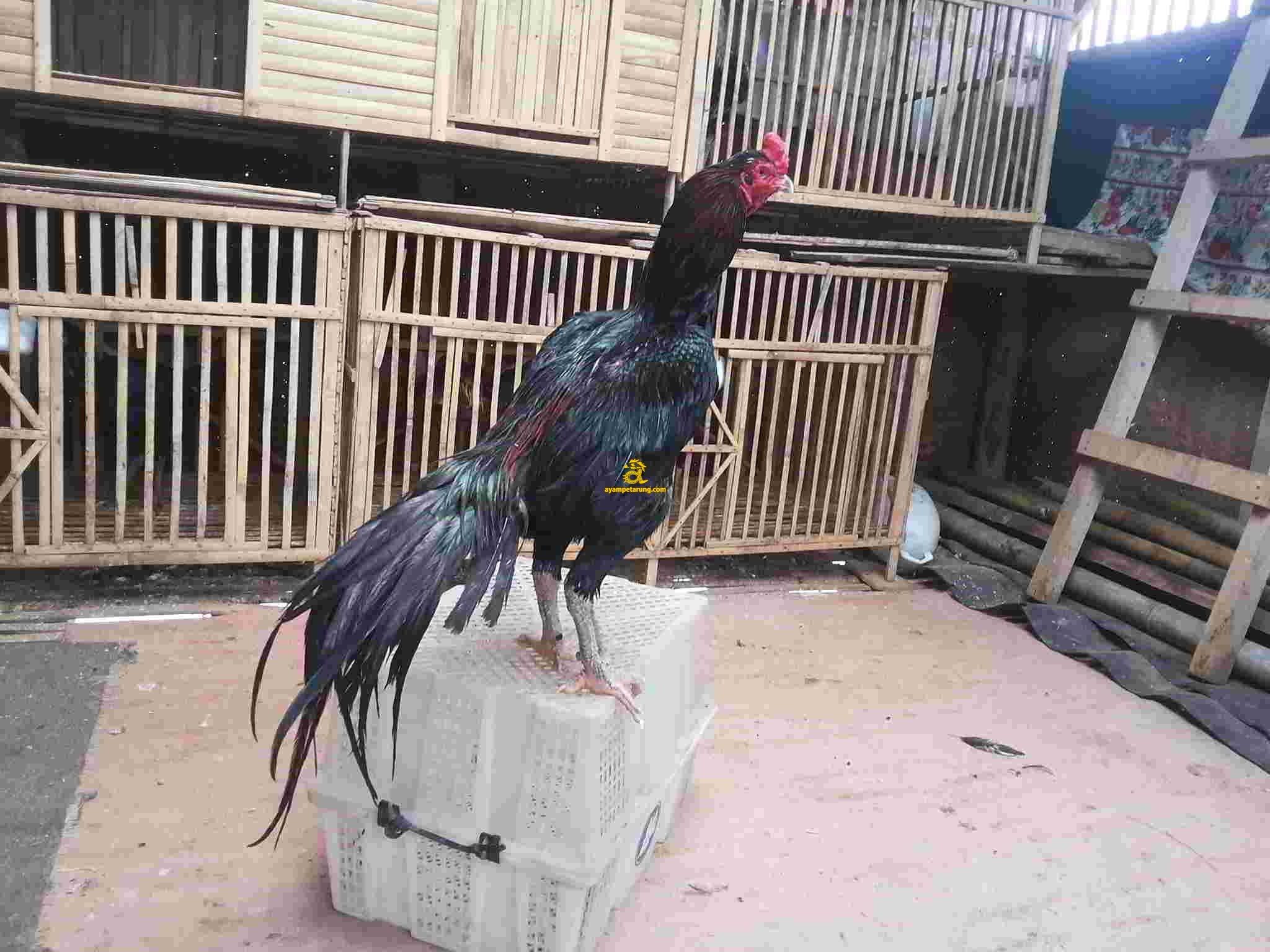 Ayam Bangkok Pakhoy, Dominator 7