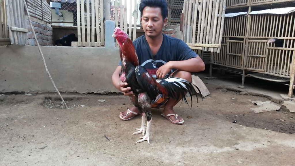 Ayam Bangkok Pakhoy, Dragon Killer 3
