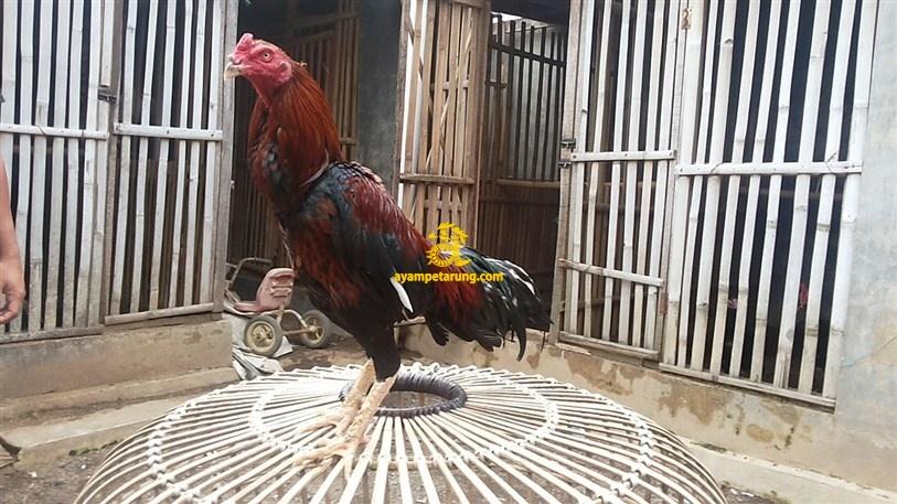 BIG BANG, Ayam Birma Bangkok (Birkok), Import Ori (10)