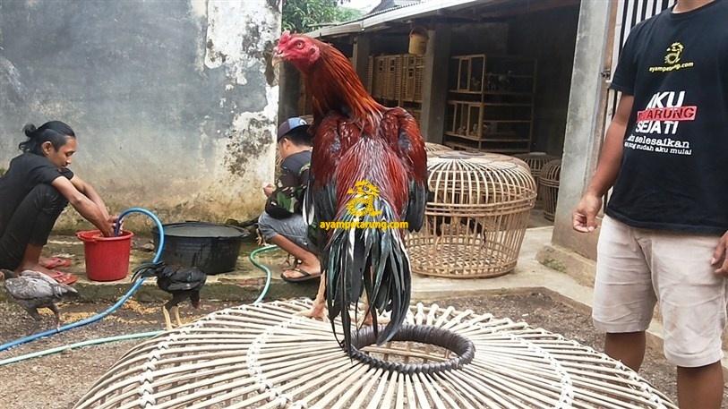 BIG BANG, Ayam Birma Bangkok (Birkok), Import Ori
