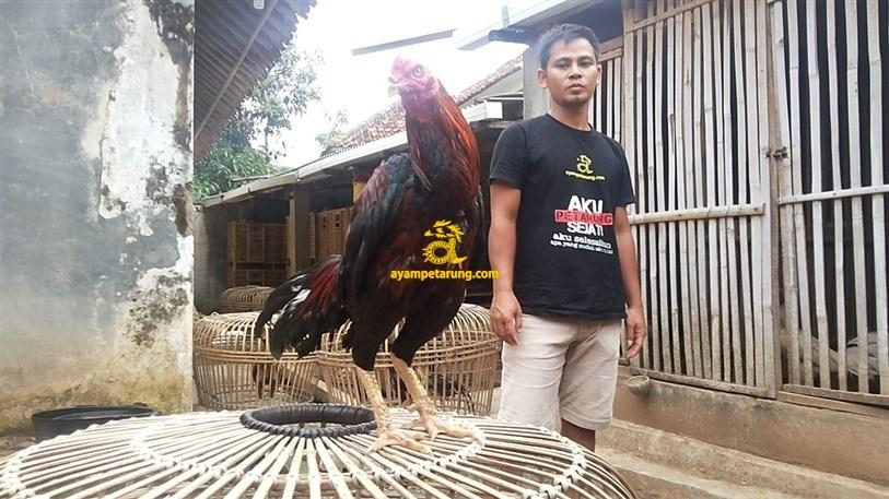 BIG BANG, Ayam Birma Bangkok (Birkok), Import Ori (4)