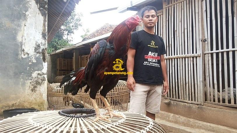 BIG BANG, Ayam Birma Bangkok (Birkok), Import Ori (5)