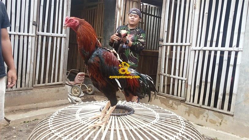 BIG BANG, Ayam Birma Bangkok (Birkok), Import Ori (8)