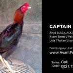 CAPTAIN JACK, Ayam Birma Pakhyo Makhoy