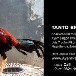 Tanto Brandal Ayam Saigon Thailand Anak Jagger Master