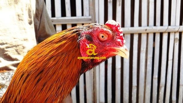 Jual Ayam Bangkok di Bogor