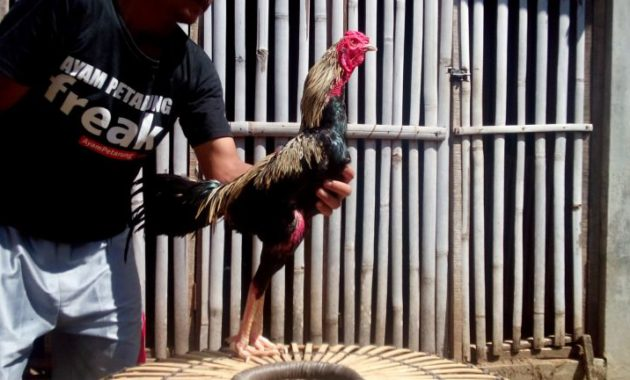 76+ Gambar Ayam Sisik Naga Tempur Paling Hist