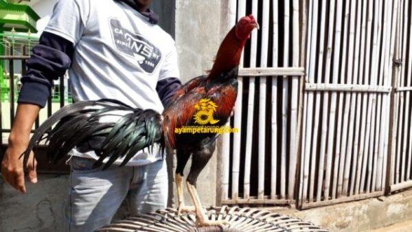 MARION COBRA Ayam Birma Pakhoy Pukul Saraf Sisik Gubed