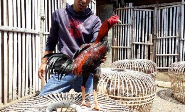 Jual Ayam Bangkok F1