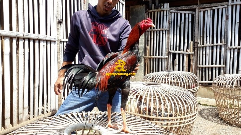 Jual Ayam Bangkok Bukalapak