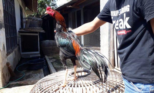 Ayam Bangkok VS Ayam Siam