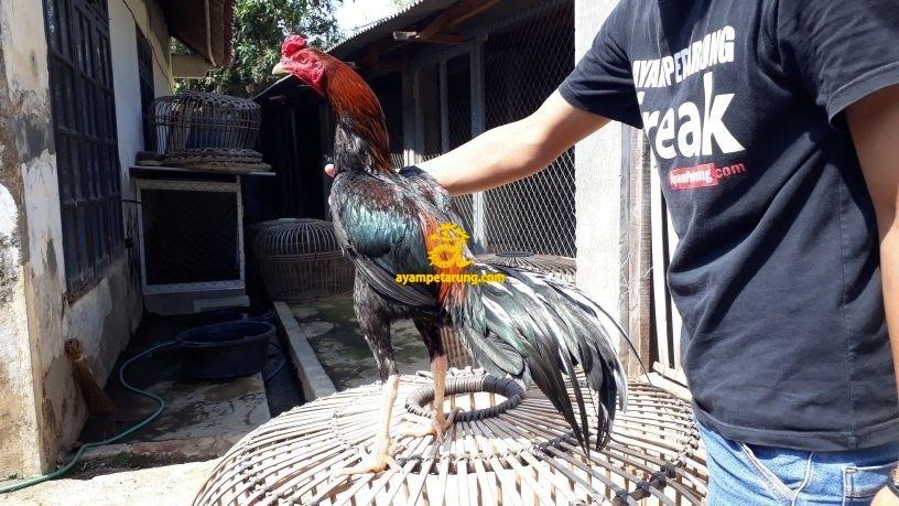 Foto Ayam Wiring Galih Ayam Bangkok Wiring Galih Ayampetarung Com