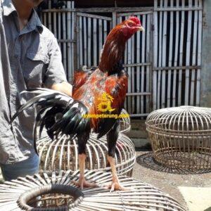 Ayam Birma Bangkok Bakat Pukul Saraf
