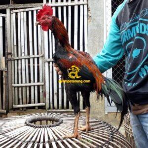 Ayam Pakhoy Panus Import