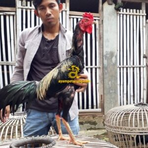 Ayam Pakhoy Panus Bakat Pukul Jalu