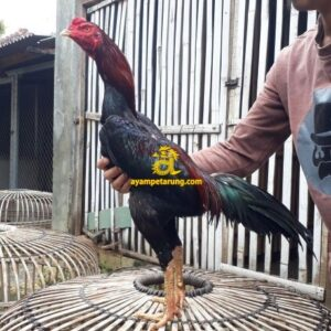 Ayam Khoyngon