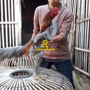 Ayam Mangonthai
