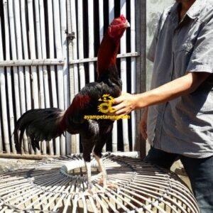 Ayam Mangonthai Bakat Pukul Jalu