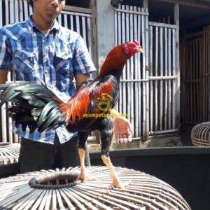 Ayam Bangkok Pukul Jalu