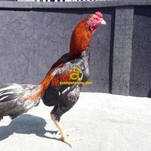 Ayam Pakhoy Panus Bakat Pukul KO