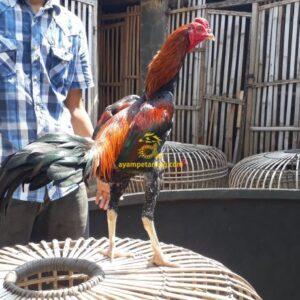Ayam Birma Bangkok Birkok
