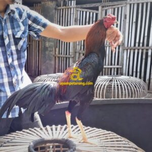 Ayam Mangonthai Bakat Pukul KO