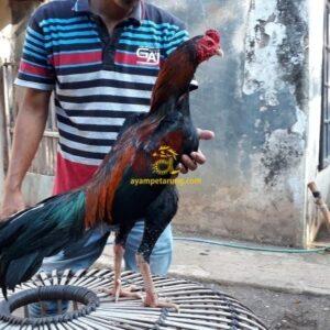 Ayam Pakhoy Panus, Anak Batara Bisma