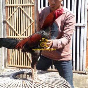 Ayam Mangonthai F1 Super