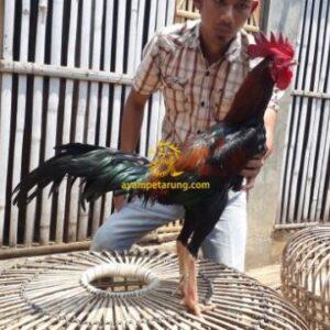 Ayam Jengger Lamba