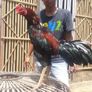 Daston Brasma, Anak Batara Bisma, Ayam Pakhoy Panus, Jual Ayam Pakhoy
