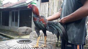 Ayam Aduan Pukul KO